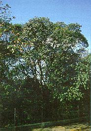 1a Arvores Nativas de Peroba Poca