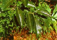 1c Arvores Nativas de Peroba Poca
